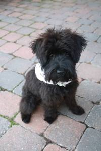 Maggie_schnoodle