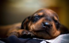 sleeping_puppy_2_hd_widescreen_wallpapers_1920x1200