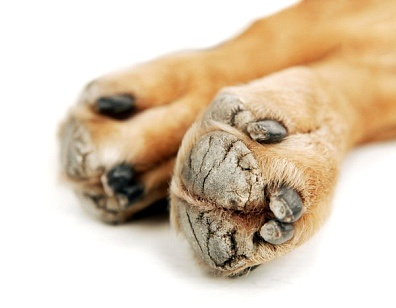 how to treat a cut pad on dogs foot