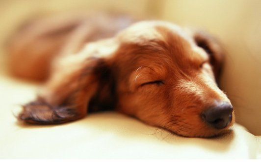 hd_sleepy_dog_wallpaper_backgrounds_by_mody_hashim-d62u7p0