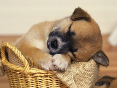 pedigree_sleepy_puppy