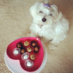 valentines-day-chocolate-truffle-dog-maltese